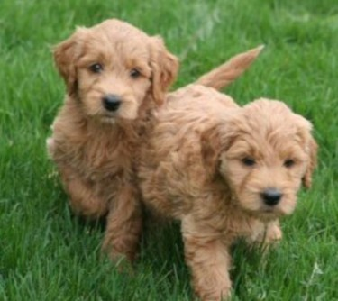 Goldendoodle Puppies For Sale in Texas